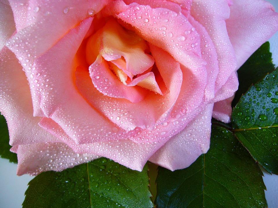 raindrop-rose-57478_960_720